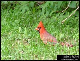 Northern Cardinal by Aideon