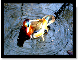 Duck in Central Park by Bardagh