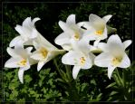 Eastern Lily 40D0008906 by Cristian-M