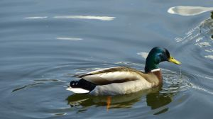 Water off a Duck's Back. by Moodlight14