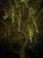 Tree by PccMBsF