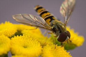 Hover Fly by homerlein