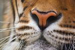 A tiger's nose by Kiara-Vestigium