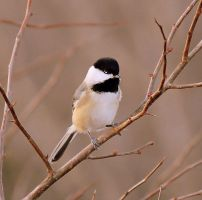 Chickadee by JMcCarty09