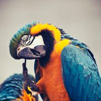 Macaw by astelpay