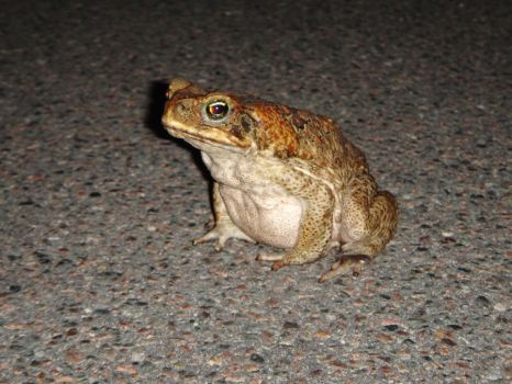 cane toad by misspegasus