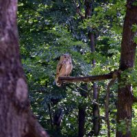 sitting owl by mimose-stock