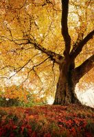 Belvoir Tree Autumn, Close R by Gerard1972