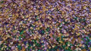 Autumn carpet by Dryad-8