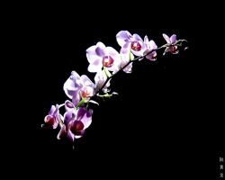 purple orchid by unusualPhoto