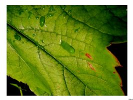 Drop on leaf by SmellikeBaikalSpirit