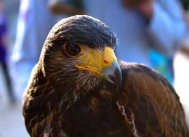Harris Hawk by Cerbii