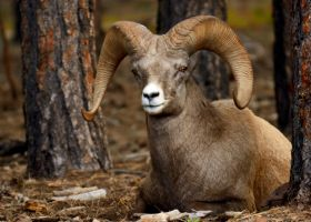 Big Horn Sheep by kaiya880
