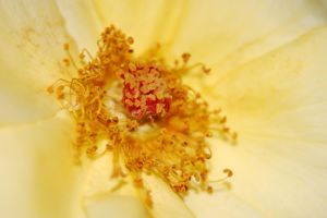 Yellow Rose by mcb011789
