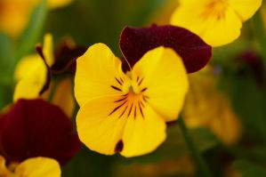 Pansy II by expression-stock