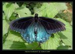 Pipevine Swallowtail I  9854 by Eolhin