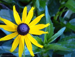 Black eyed Susie. by MOGGGET