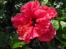 Hibiscus by BlackFireDesign