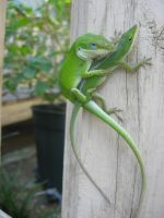 mating lizards 02 by CotyStock