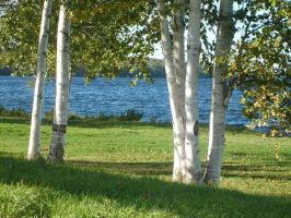 Birches by ssg-McGary