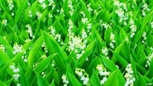Lily of the valley by ManTec