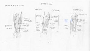 Muscles - forearm by sketches-lover