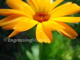 Flower 02 by EngrossingMoment