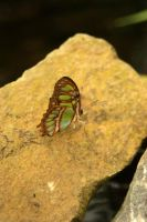 Butterfly on the rock by steppelandstock