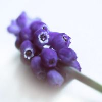 grape hyacinth by AdrianaKH-75