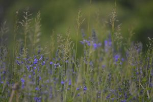 Purple Weeds in Green Grass by Gr8-Gatensby