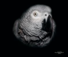 African Grey by Lion6255