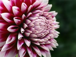 A Burst of Dahlia by TruemarkPhotography