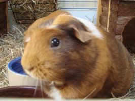 Hattie - Guinea pig by Fayemilly