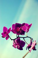 orchid. by Tengman