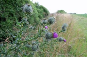 thistles by Arrmand