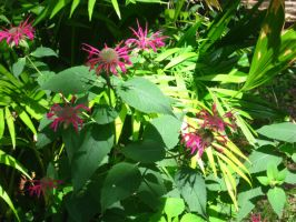 bee balm with palms by crazygardener