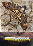 Acherontia atropos - Death's Head Hawk Moth! by WillemSvdMerwe