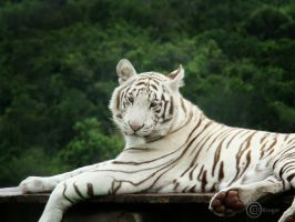 White Tiger by Morgaine1