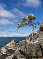 Lake Tahoe East Shore snowy Tree140330-96 by MartinGollery