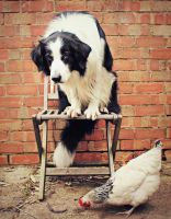 Border Collie Vs. Chicken by micromeg
