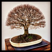 iPhone moment - English elm bonsai by BrendanR85