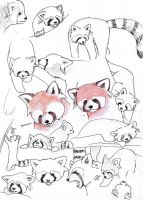 Studying Red Pandas by ASakuraZaki