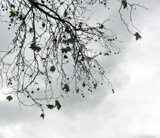 Stock 0002 - Planetree branches against sky by Niverdia-stock