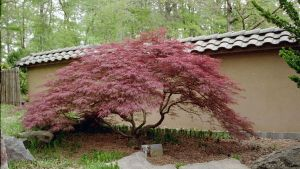 a japanese maple by anne96
