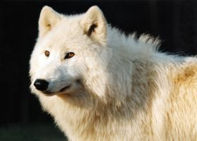 Arctic wolf portrait 1 by deadwolf140407