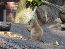 young Marmot 19 by mrscats
