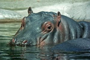 Large Hippo 5264892 by StockProject1