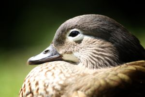 Mandarin duck, female,portrait by mironczyk