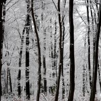 beech forest in winter by augenweide