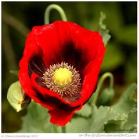 Poppy Red by In-the-picture